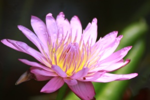Water lily at Hemmingway's house