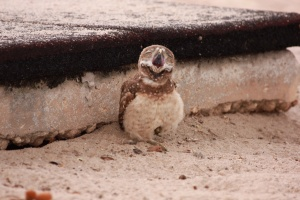 Yawning burrowing owl