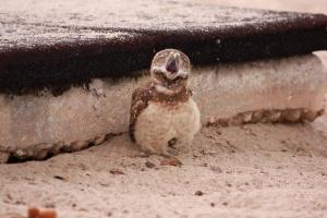 Yawning burrowing owl