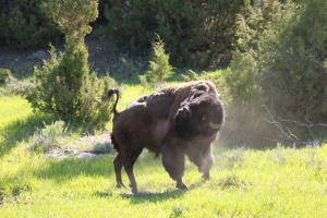 Contorting bison