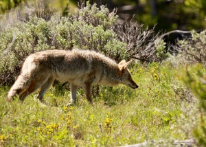 Coyote prowling