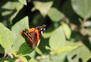 Kamehameha butterfly