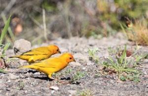 Saffron finches