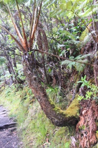 Hapu'u tree fern