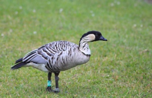 Nene, or Hawaiian goose