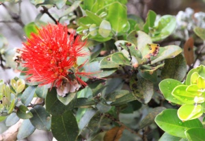 Ohia flower