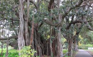 Ficus macrophylla columnaris