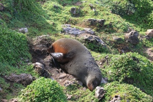 Sleeping adult New Zealand fur seal