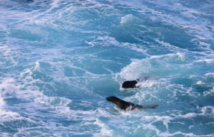 Surfing fur seals