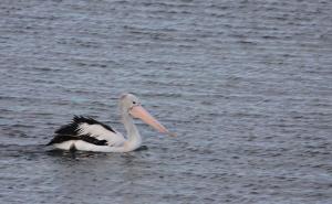 Australasian pelican swimming