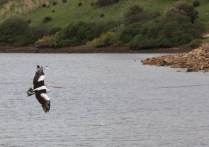 Australasian pelican flying