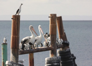 Pelicans and cormorants sitting on the dock of the bay