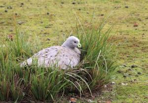 Australian goose on the nest