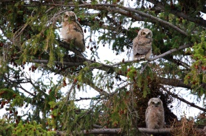 Three owlets