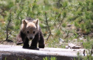 Grizzly cub or racoon?