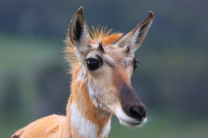 Punk pronghorn