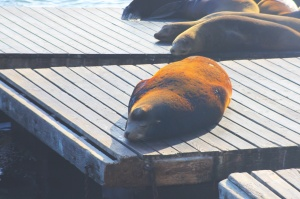 Sea lion dozing