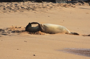 Juvenile monk seal