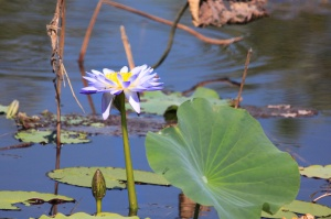 Waterlily, Fogg Dam