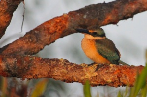 Sacred kingfisher at dawn