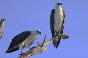 White-bellied sea eagles
