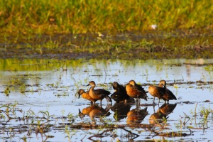 Whistling ducks, Mamukala