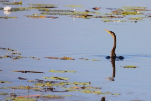Australian darter at Mamukala illustrating why it is also known as the snake bird