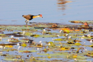 Red-combed jacana, Mamukala