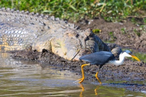 Pied heron dices with death
