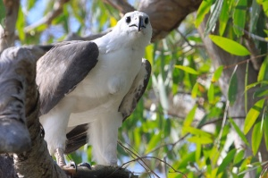 White-bellied sea eagle with snake
