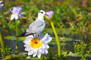 Tern on waterlily