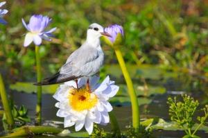 Tern on waterlily