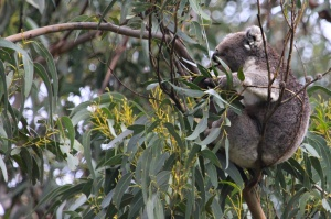 Breakfast time for koalas