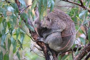 Koala ball