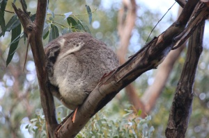 Another koala ball