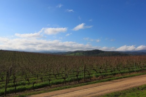 Yarra valley vines