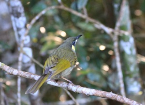 Yellow spotted honeyeater