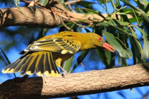 Olive backed oriole