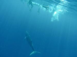 Whale versus snorkelers