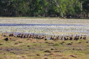 Whistling ducks, Anbangbang Billabong