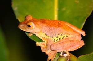 Female harlequin frog