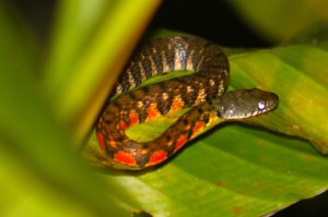 Red triangle keelback