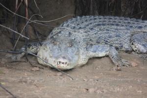 Kalibatangan crocodile