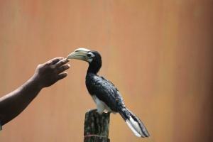 Tame pied hornbill