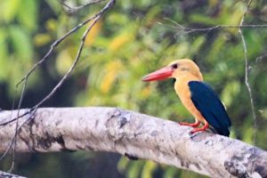 Stork billed kingfisher