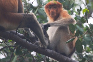Young proboscis monkey