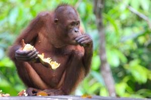 Orangutan eating durian