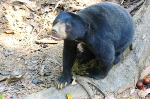 Sun bear in Sepilok
