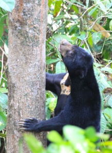 Sun bear climbing tree
