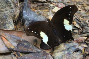 Unidentified butterfly
